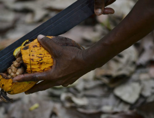 Cacao: A Venezuelan Lament